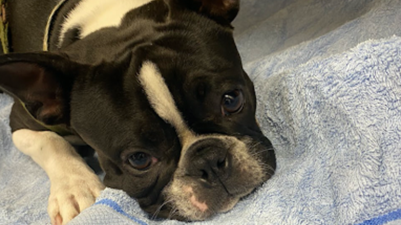 Wire-free Technology Means Less Stress on Gremlin the Tiny Tailed Pup