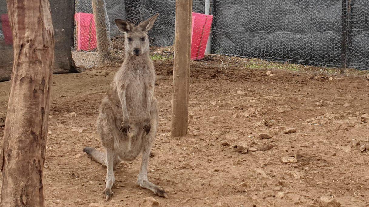Monitoring Kangaroos at Possumwood Wildlife & Research Centre
